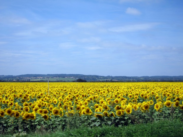 Sunflower Field Saverdun